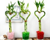 Lucky Bamboo Heart Shaped 8 Glass Vase - Live, Fresh Healthy Plant, Bamboo Gift, Love