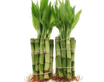 Lucky Bamboo Etsy