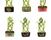 Braided Lucky Bamboo 8 Stalk - Office Plants