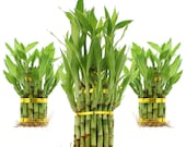 Live Lucky Bamboo 2 Tier or 3 Tier Tower Arrangement - Home or Office Decor - Easy to Grow, Hard to Kill - Live, Fresh Healthy Plants