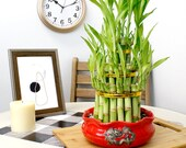 Lucky Bamboo Plant 3 Tiered Tower with Red Ceramic Dragon Pot - Fresh, Live, and Healthy Houseplant