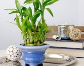 Lucky Bamboo Plant 2 Tiered Tower with Light Blue Ceramic Pot - Fresh, Live, and Healthy Houseplant