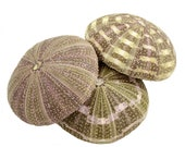 Alphonso Sea Urchin Shells Bundle of 6, 12 or 24 for Terrariums, Arts Crafts, DIY
