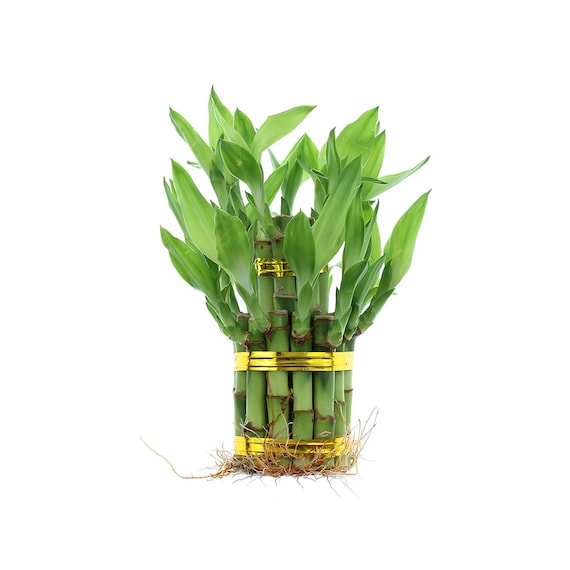 Lucky Bamboo 2 Tier Tower Arrangement - Special Lucky bamboo Arrangement,  Home Office Decor, Indoor Plants, Dracaena Sanderiana