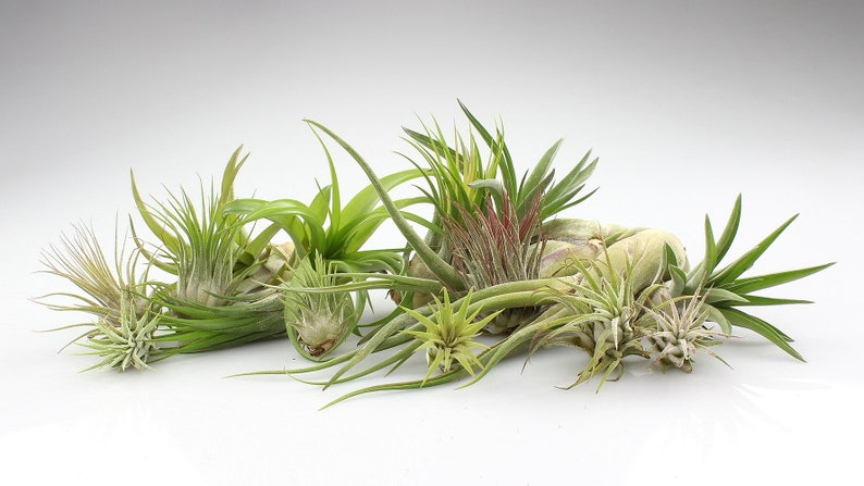 Bulk Wholesale Air Plants Large Air Plants Small Assorted Etsy
