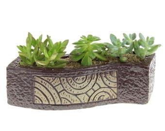 "Three 2.25"" Live Succulent Plants in Brown Ceramic Long Pot"