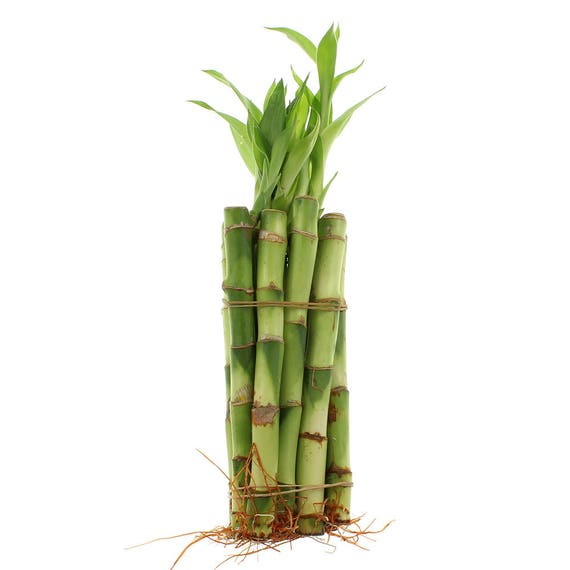 Best Indoor Plants For Small Pots: Lucky Bamboo Small Indoor Plants Select From A Variety Of