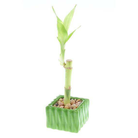 lucky bambou unique tige w vert wavey carr pot cadeaux de etsy. Black Bedroom Furniture Sets. Home Design Ideas