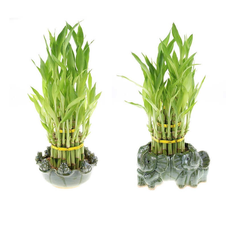 Lucky Bamboo Tiered Tower & Bamboo Pot - Good Luck Gifts, Indoor Plant,  Feng Shui Gifts, Zen Gifts, Patio Decor, Bamboo Arrangement