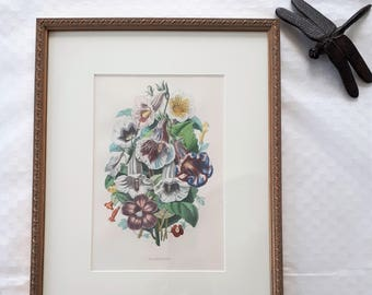 Botanical Framed Lithography 1854. Beautiful colors of XIX century. Original antique print