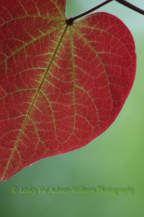 Half A Heart Red Leaf Photo Redbud Leaf Eastern Redbud Etsy