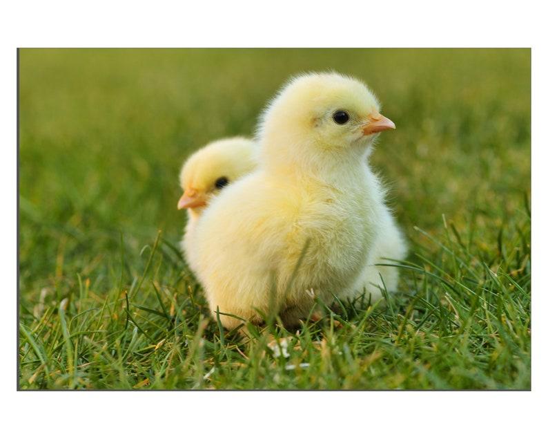 Fluffy Baby Chicks Chickens Handcrafted Gicl\u00e9e Faux Canvas Wall D\u00e9cor Art Print Free Shipping