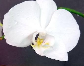 Bin 341628 Phalaenopsis 'silver Light' 3 1/4'' Pot  S697 ( 422688 )