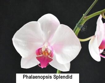 Bin 321407 Phalaenopsis Splendid  4 1/2'' T07 ( 344772 )
