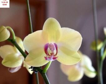 Bin No Name Phalaenopsis 4 1/2'' Pot T73 ( 13725646 )