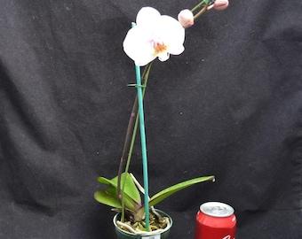 Bin Phalaenopsis Pearlridge Blush X Self 4'' Pot  S696 ( 450548 )