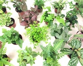 Mini Terrarium Plants (6 Plants) (2 quot Pots) Fairy Garden Plants Assorted Varieties