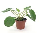 Pilea peperomioides (2 quot Pot) (Chinese money plant Pancake plant UFO plant)