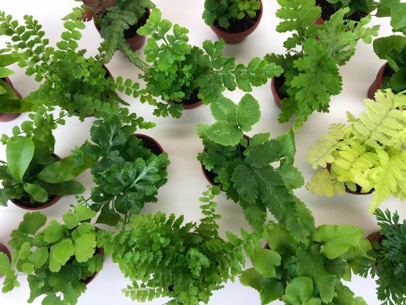 Super Micro Ferns 2 Plants 1 5 Pots Terrarium Plants Etsy