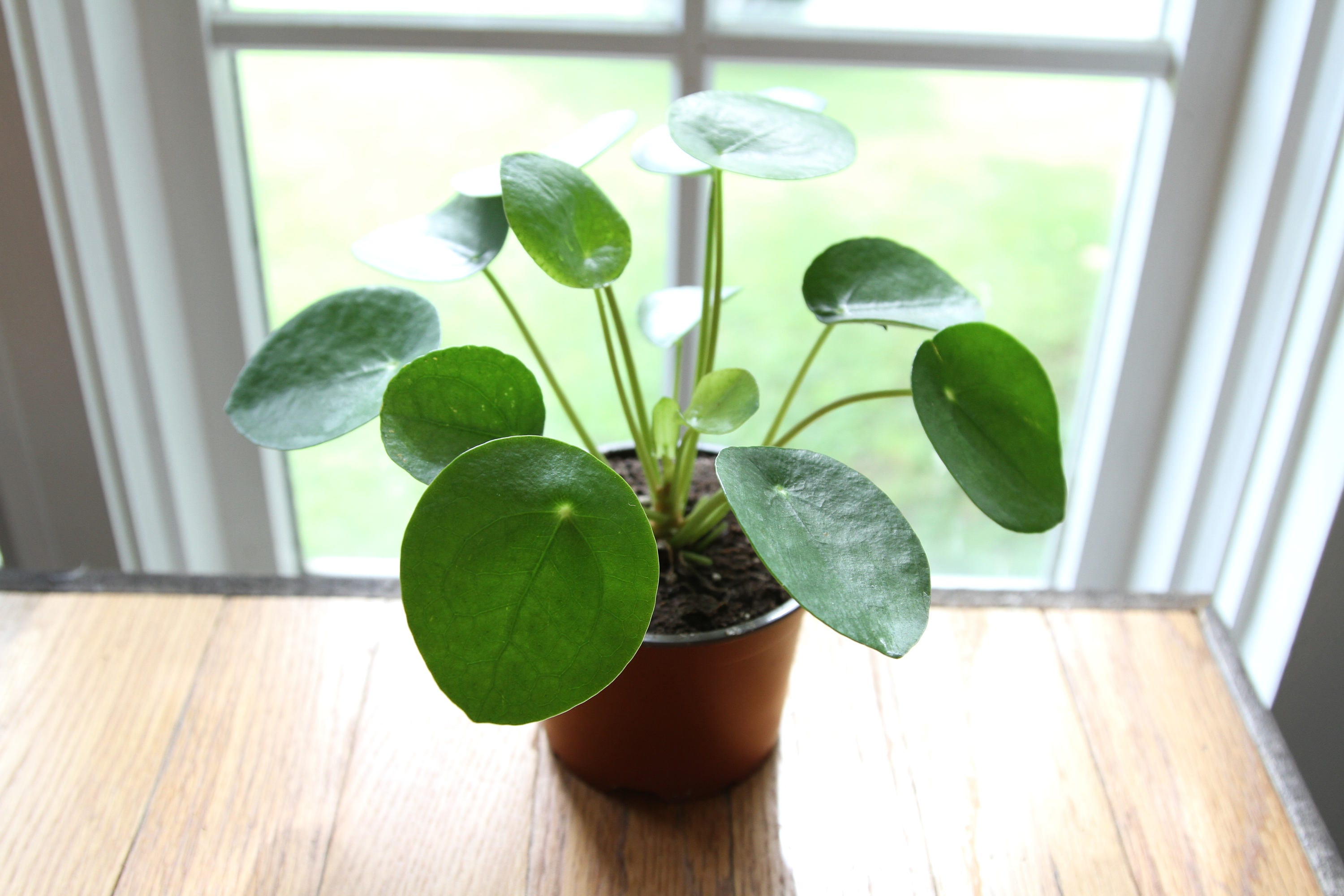 pilea peperomioides 4 pot chinese money plant etsy. Black Bedroom Furniture Sets. Home Design Ideas