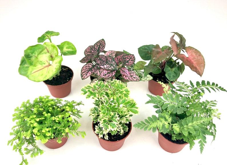 Mini Terrarium Plants 6 Plants 2 Pots Fairy Garden Etsy