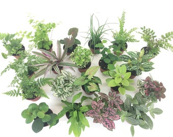 "2"" Mini Fairy Garden & Terrarium Plants Assorted Varieties (Pack of 2 Plants) 2"" Pots"