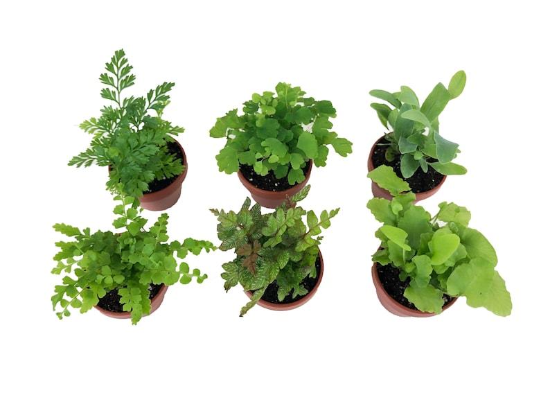 Super Micro Ferns 6 Plants 1 5 Pots Terrarium Plants Etsy