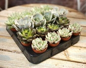 Echeveria Mix - Plants - House Office Live Indoor Pot Plant - Ideal Wedding Favour Party Gifts
