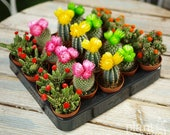 Mini Cactus Colourful Disco Mix - House Office Live Indoor Pot Plant - Ideal Wedding Favour Party Gifts