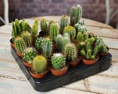 Cactus Mix - House Office Live Indoor Pot Plant - Ideal Wedding Favour Party Gifts - In 5cm Pots