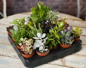 Succulent Mix - Plants - House Office Live Indoor Pot Plant - Ideal Wedding Favour Party Gifts