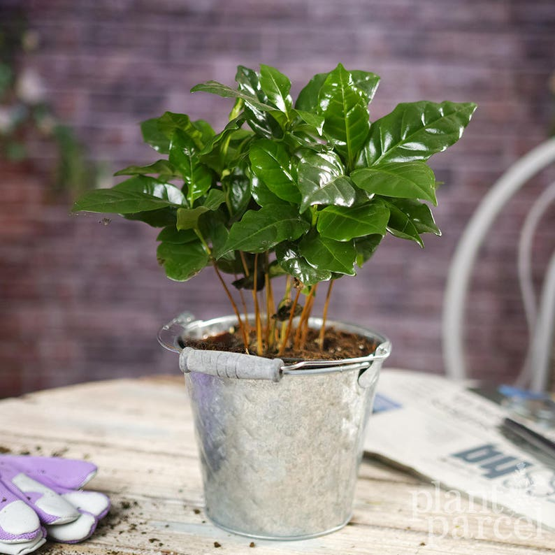 Coffee Arabica In Decorative Pot Grow Your Own 1 Plant | Etsy on indoor tobacco plant, indoor bamboo plant care, indoor fig plant, indoor oak plant, indoor white plant, indoor lime tree, indoor avacado plant, indoor rubber plant, indoor water plant, indoor plants that clean the air, indoor lemon plant, indoor lilac plant, indoor coconut plant, indoor grass plants, indoor garlic plant, ideas for front of house plant, indoor citronella plant, indoor papaya plant, indoor wheat plant,