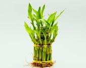 Lucky Bamboo Bunch (Approx. 20) Easy Indoor House Plant Dracaena Sanderiana