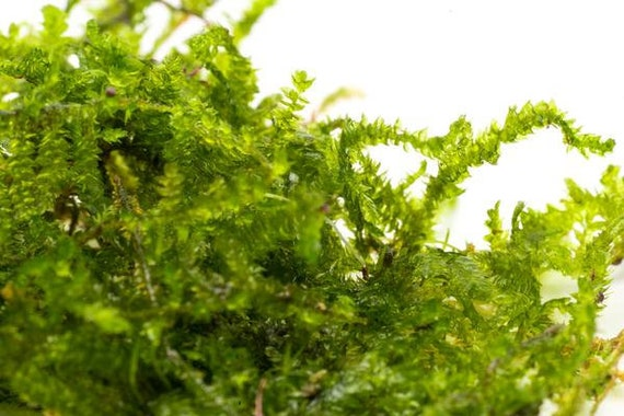 christmas moss easy beginner live aquatic plant for aquarium or terrarium - Christmas Moss