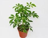 Schefflera Arboricola 39 Umbrella Plant 39 4 quot Pot Live Plant