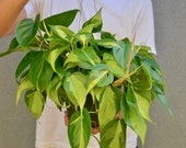 Philodendron Hederaceum 39 Brasil 39 6 quot Hanging Pot Live Plant