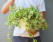 Pothos N 39 Joy Hanging - In 6 quot Pot Live Plant FREE Care Guide