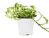 Pothos N 39 Joy 4 quot Pot Live Plant Home and Garden Plants