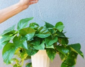 Golden Pothos Hanging - In 6 quot Pot Live Plant FREE Care Guide