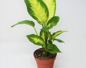 Dieffenbachia Camille Plant 4 quot Pot Live Plant