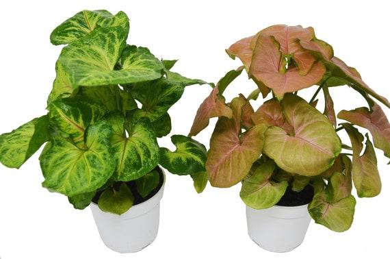 2 Syngonium Variety (Arrowhead Plant) / 4