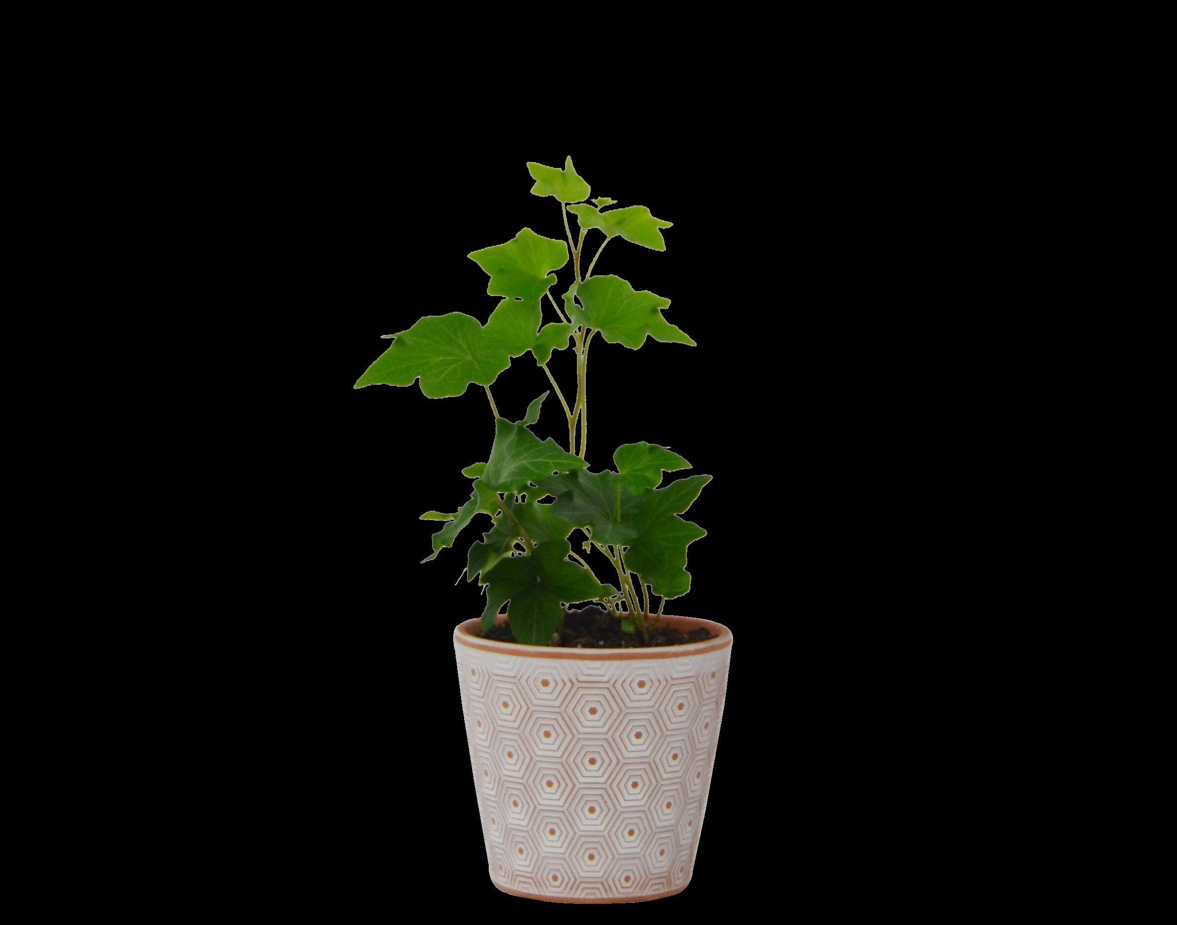 English Ivy 'Green California' - in 3 5