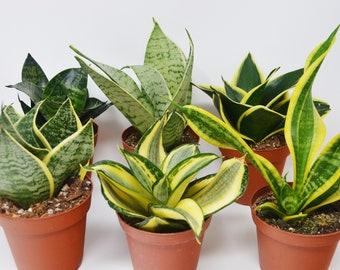 "6 Snake Plant Variety (Sansevieria) / 4"" Pot / Live Plant / Live Home and Garden Plants"