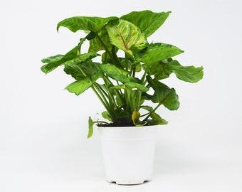 "Syngonium Mango (Arrowhead Plant)  / 4"" Pot / Live Plant / Live Home and Garden Plants"