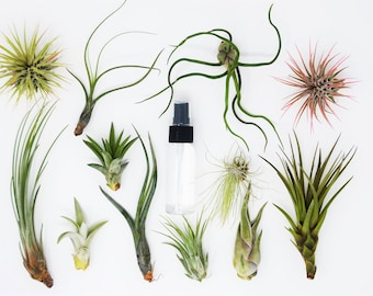 "10 Air Plant Assortment w/ Spray Bottle / 6 Different Plant Varieties / Up to 7"" Large"