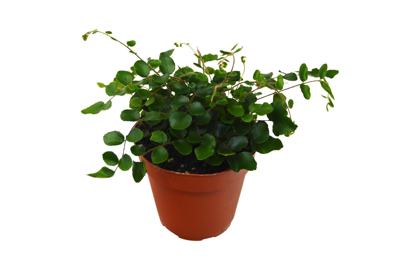 Button Fern 4 Pot Live Plant House Plant Free Etsy