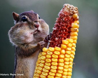 "8 x 10"" Color Glossy Reproduction photo of  a Chipmunk Eating Corn."