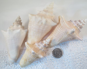 Bahamas Conch Shells, Set of four, Beach/Nautical home decor  #137S