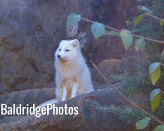 Arctic Fox photo