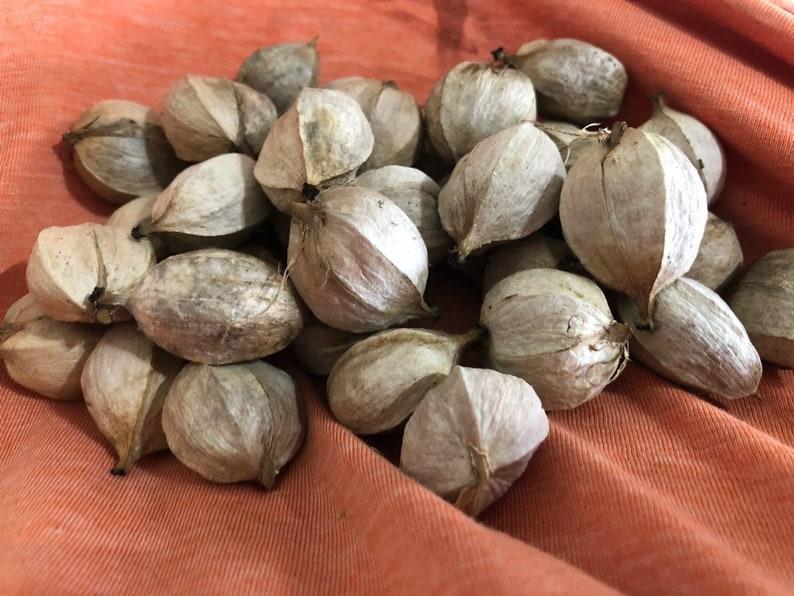 Fresh Hickory Nuts Shagbark Nuts Mixed Hickory Nuts Fresh image 1